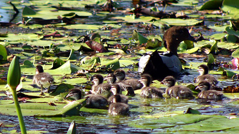 08-11-06_Ducks2