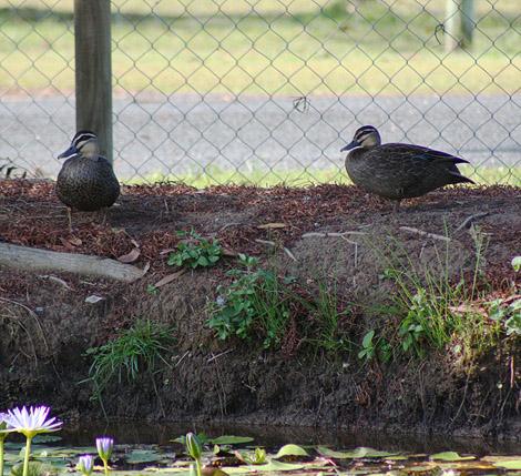 08-11-06_Ducks3